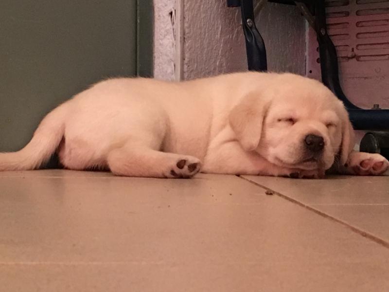 Disponibili cuccioli di Labrador Retriever con Pedigree Biella - Annunci Zampettando
