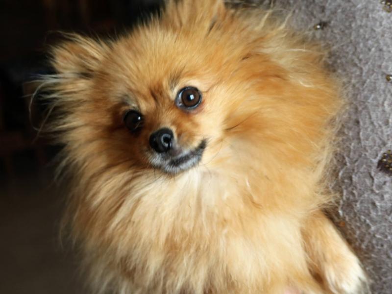 cuccioli spitz tedesco nano Perugia - Annunci Zampettando