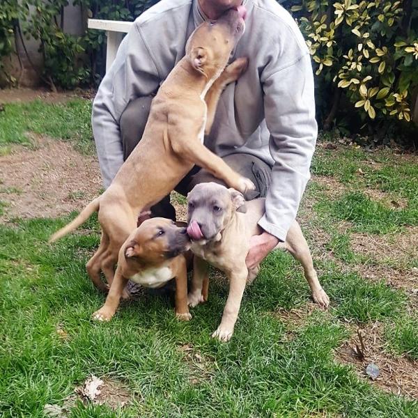 Cuccioli American Staffordshire Terrier Blue Cuccioli Terni - Annunci Zampettando