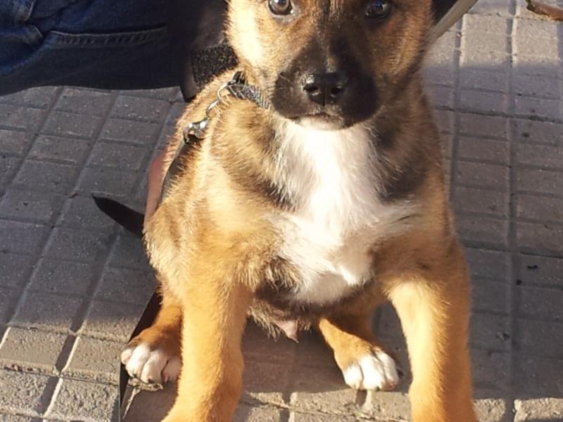 ROLLY, cucciolo 1 mese e mezzo, futura tg grande (30-35kg) Pesaro Urbino - Annunci Zampettando