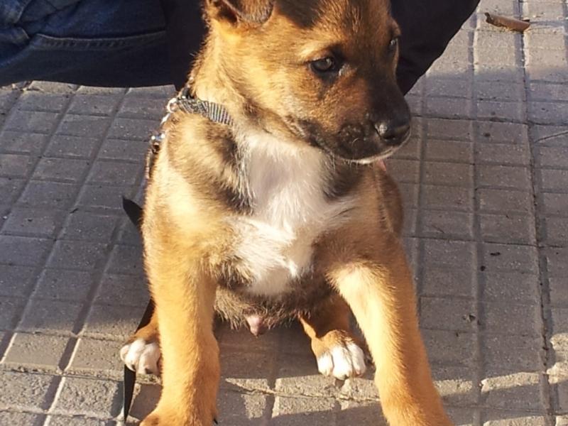 ROLLY, cucciolo 1 mese e mezzo, futura tg grande (30-35kg) Pesaro Urbino id. 13477
