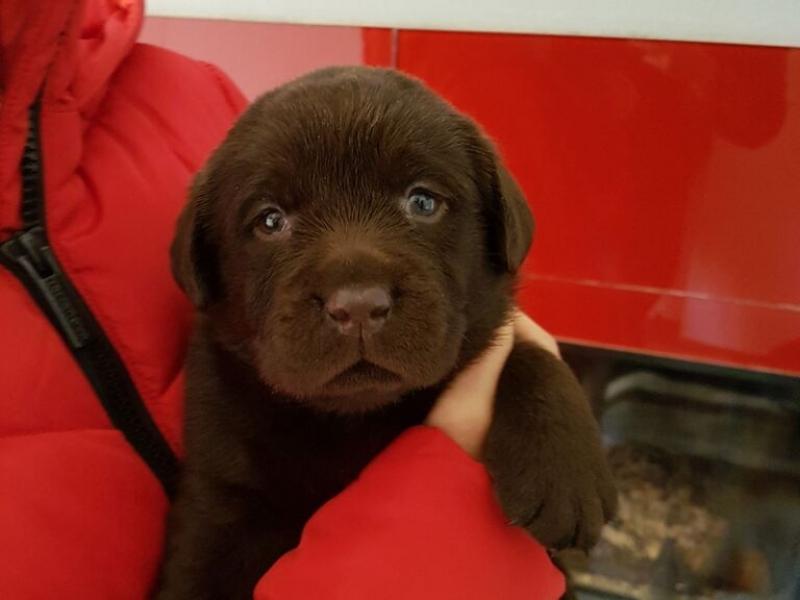 Cuccioli di Labrador Retriever Chocolate Macerata - Annunci Zampettando