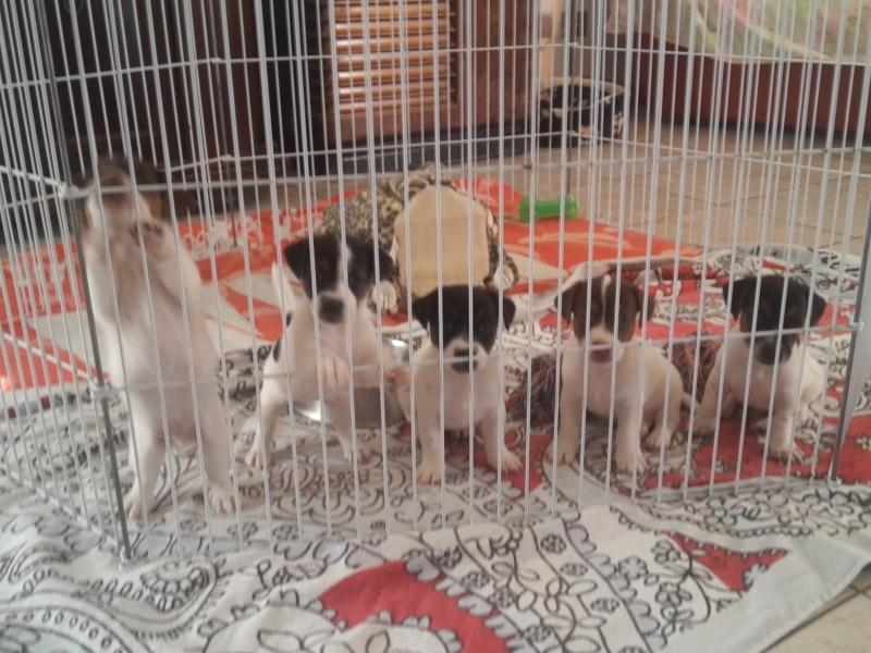 cuccioli di jack russel Macerata - Annunci Zampettando