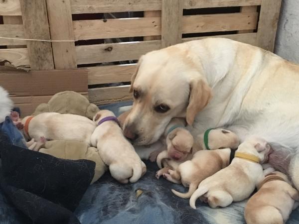 Cuccioli di Labrador  Ascoli Piceno - Annunci Zampettando