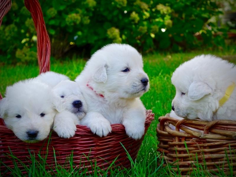 Cuccioli di Pastore Maremmano Abruzzese Rieti - Annunci Zampettando