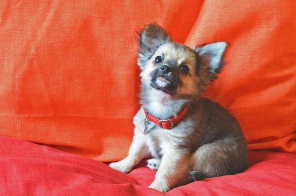 Chihuahua cucciolo a pelo lungo con pedigree ENCI Roma - Annunci Zampettando