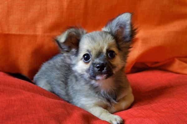 Chihuahua cucciolo a pelo lungo con pedigree ENCI Roma id. 15471
