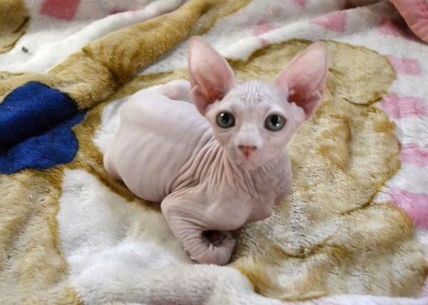Cuccioli Sphynx gatto nudo Roma - Annunci Zampettando