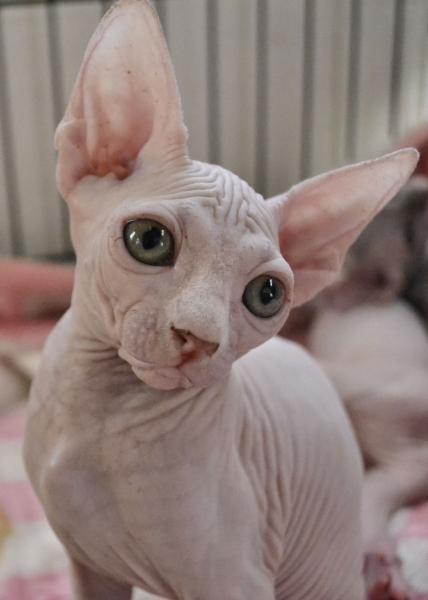 Cuccioli Sphynx gatto nudo Roma id. 16538