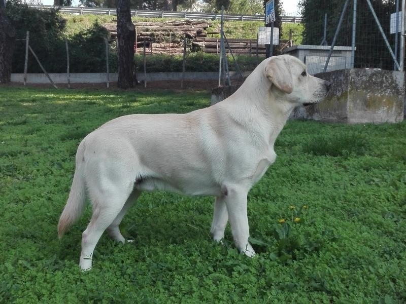 Labrador maschio per accoppiamento Roma - Annunci Zampettando