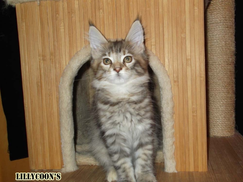 WONDERFUL MAINE COON Roma id. 15384