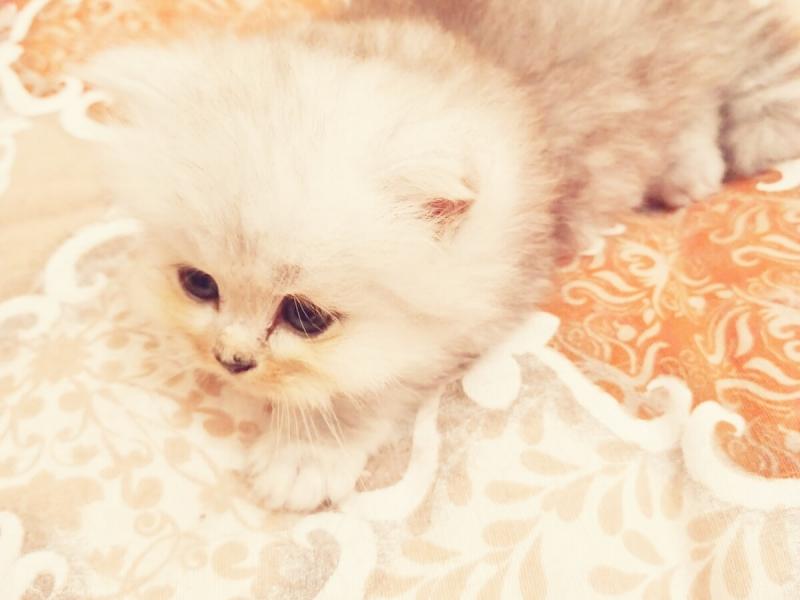 Cuccioli di gatto persiano chinchillà silver Roma - Annunci Zampettando