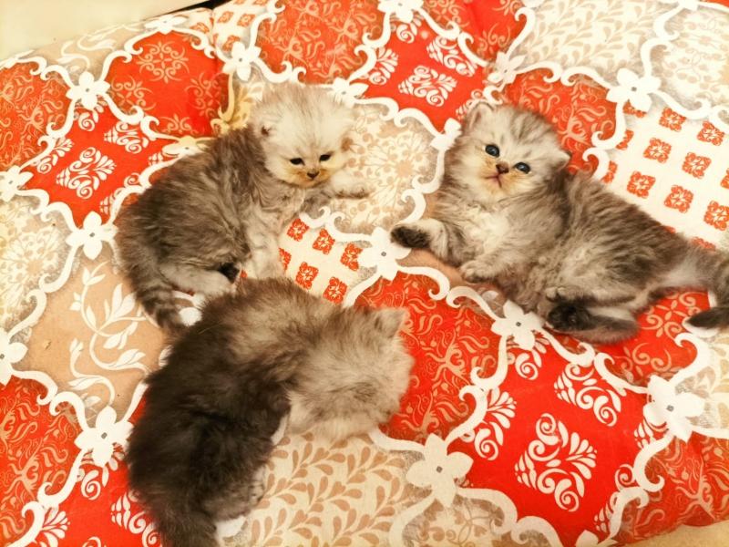 Cuccioli di gatto persiano chinchillà silver Roma id. 17522