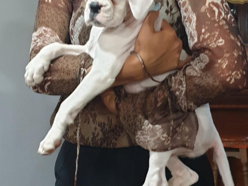 Dolcissima cucciola di boxer Roma - Annunci Zampettando
