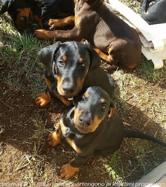 Cuccioli di Dobermann Roma - Annunci Zampettando