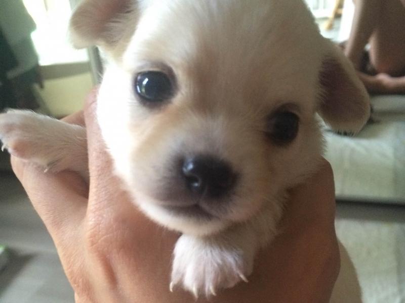 Chihuahua Pedigree Taglia Piccola Roma - Annunci Zampettando