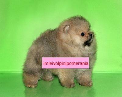 cuccioli volpino pomerania Roma - Annunci Zampettando