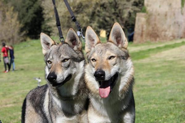 allevamento cane lupo cecoslovacco l'aurora del lupo  Roma - Annunci Zampettando