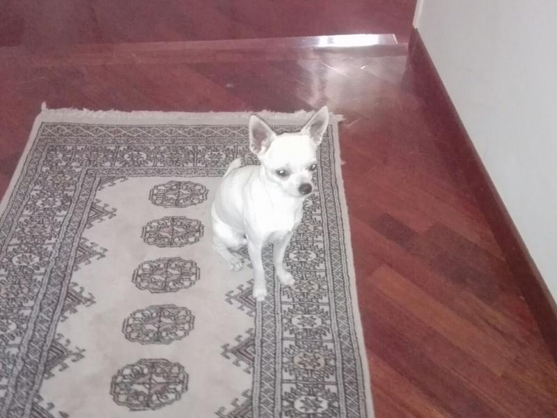 Chihuahua maschio cerca compagna Roma - Annunci Zampettando