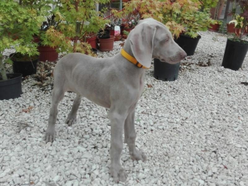 vendita cucciolo weimaraner Roma - Annunci Zampettando