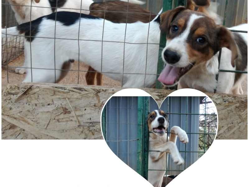 Mix beagle cuccioli Roma id. 16450