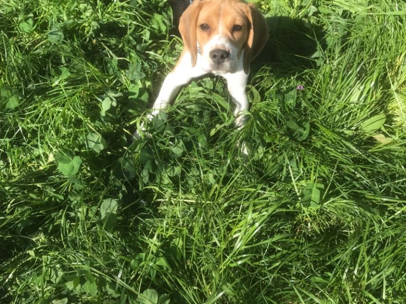 cucciolo di beagle di 6 mesi Roma id. 16659