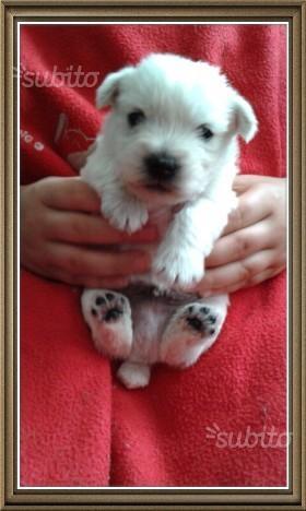 cuccioli west highland white terrier Roma - Annunci Zampettando