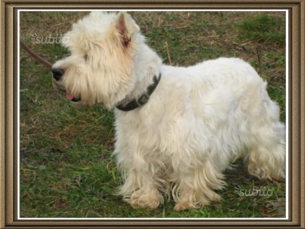 cuccioli west highland white terrier Roma id. 14108