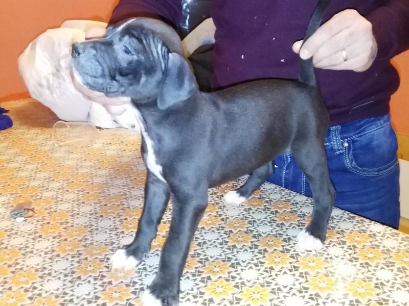 Cuccioli pittbull terrier Roma id. 13551