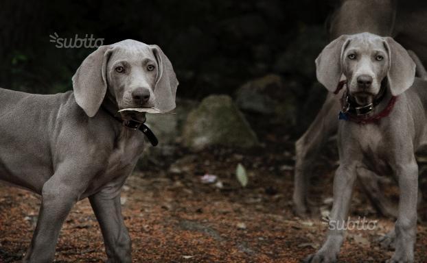 weimarainer cuccioli Roma id. 15215