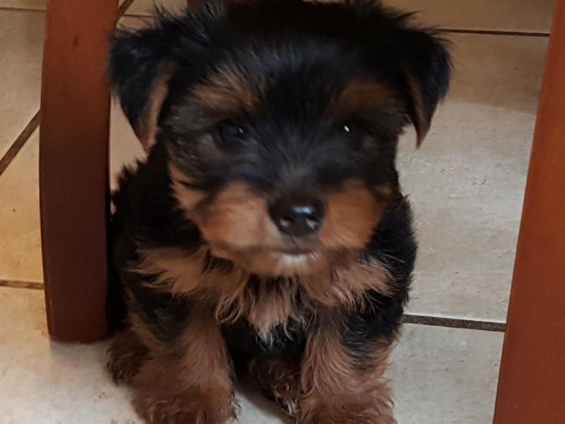Yorkshire Terrier cuccioli Latina - Annunci Zampettando