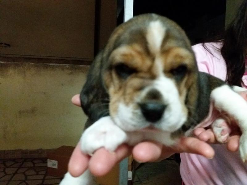 cuccioli beagle Latina - Annunci Zampettando