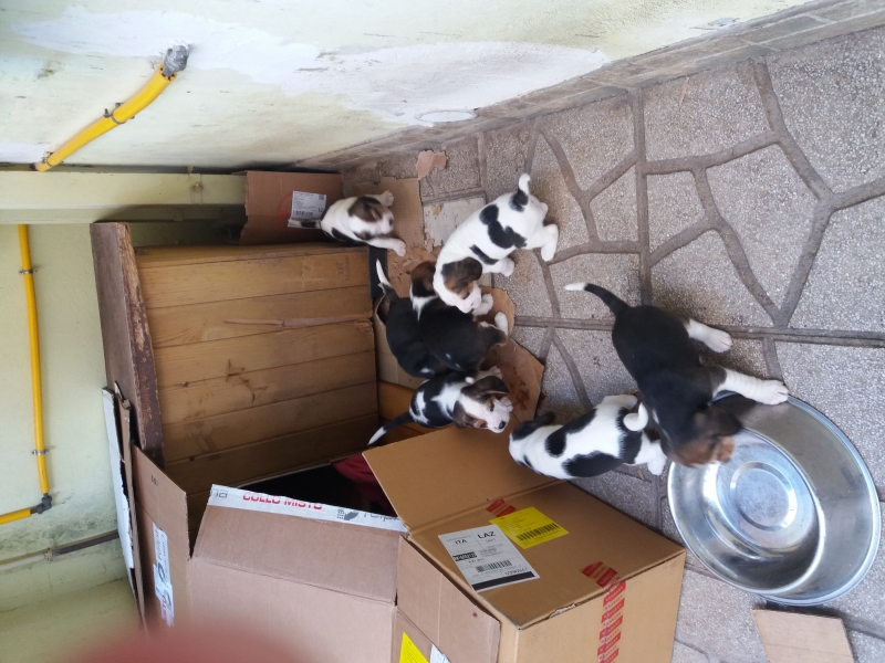 cuccioli beagle Latina id. 15410