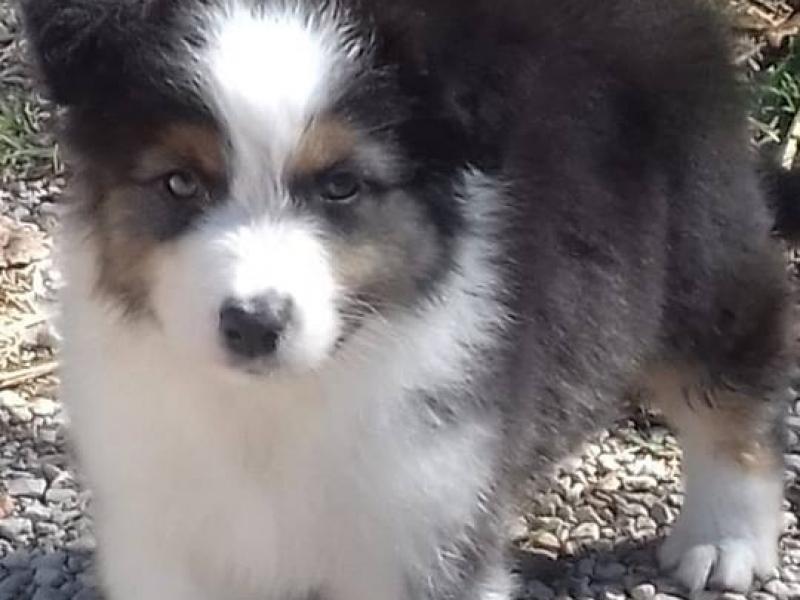 Cuccioli di Australian Shepherd disponibili Frosinone - Annunci Zampettando