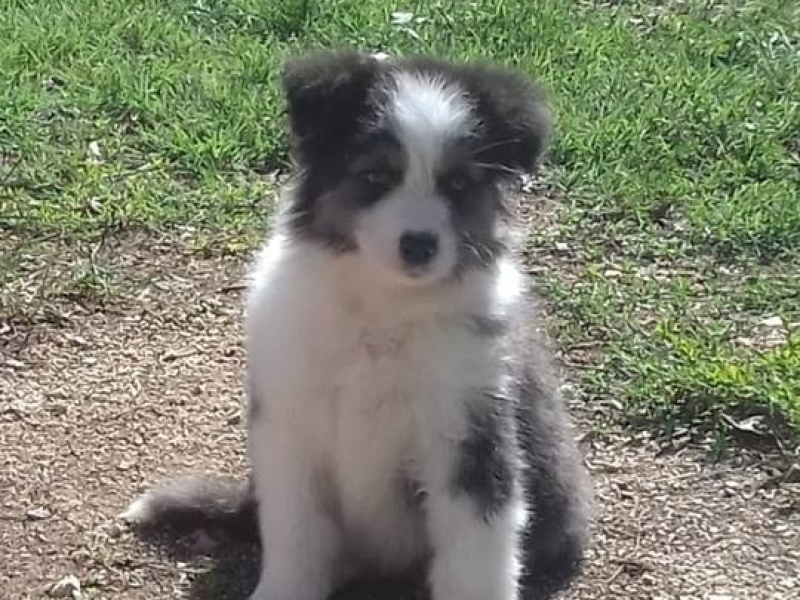 Cuccioli di Australian Shepherd disponibili Frosinone id. 16891