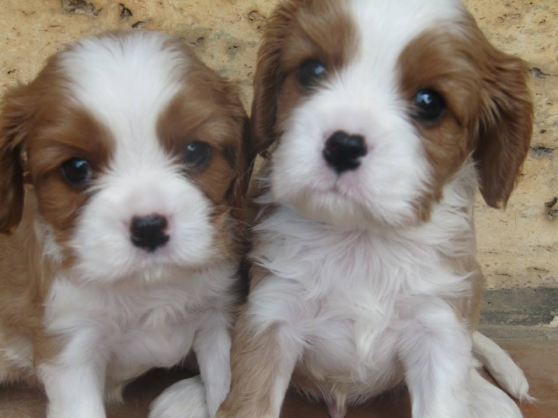 Cuccioli di Cavalier King disponibile Frosinone id. 16776