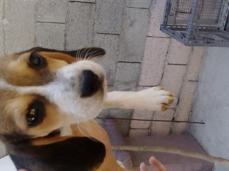 cuccioli di beagle Frosinone id. 14232