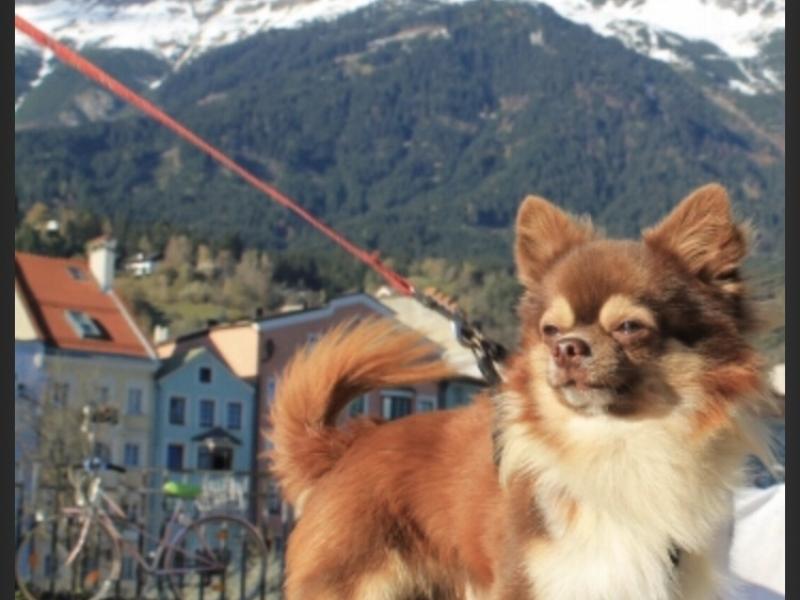 Cuccioli di chihuahua Frosinone - Annunci Zampettando