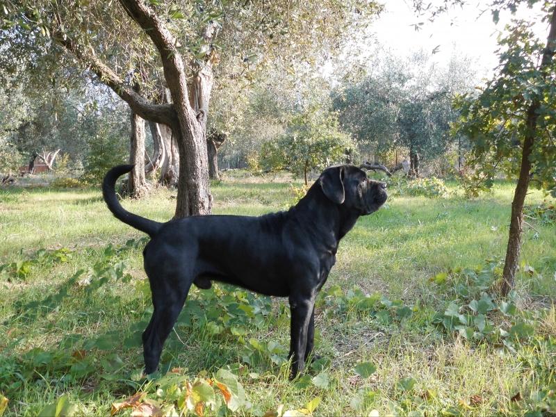 splendidi cuccioli cane corso Chieti id. 16354