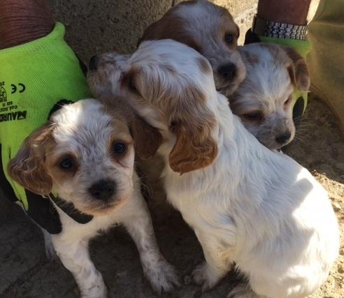 vendita cuccioli di Breton Chieti id. 15700