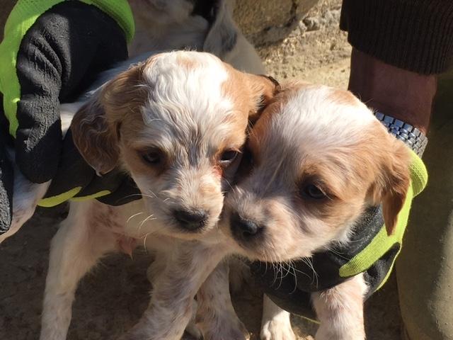 vendita cuccioli di Breton Chieti - Annunci Zampettando