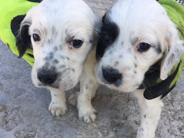 vendita cuccioli di setter Chieti id. 15701