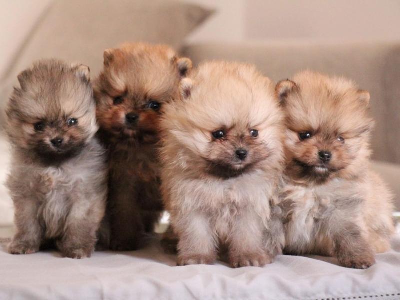 Cuccioli di Spitz nano-Volpino di Pomerania Caserta - Annunci Zampettando