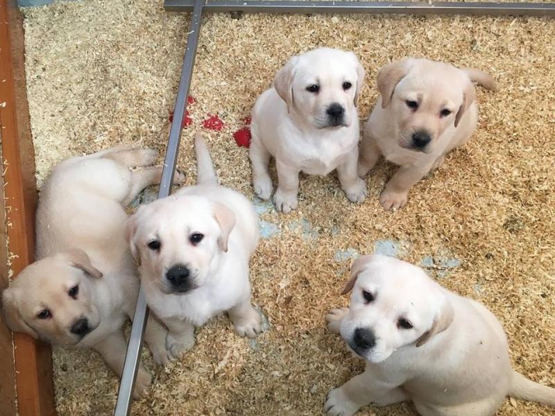 Vendita cuccioli di labrador da expo alta genealogia Caserta - Annunci Zampettando