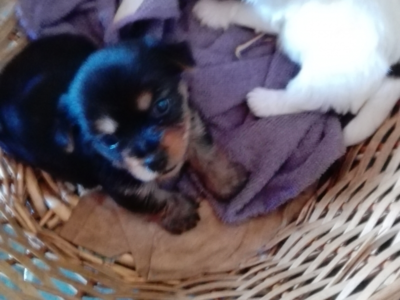 cuccioli di yorkshire Caserta - Annunci Zampettando