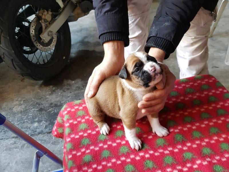 cuccioli boxer Caserta - Annunci Zampettando