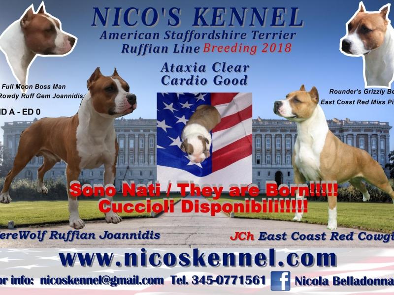 Amstaff - American Staffordshire Terrier Caserta - Annunci Zampettando
