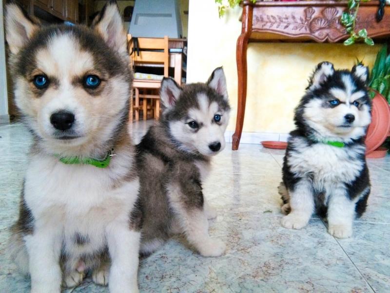 3 bellissimi e purissimi cuccioli di Husky pedigree passaporto libretto sanitario microchip Caserta - Annunci Zampettando