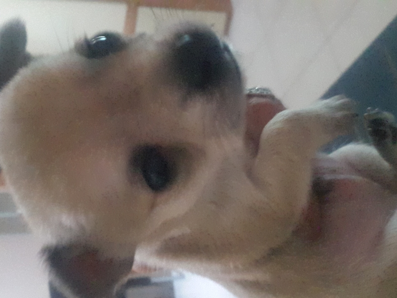 Chihuahua Benevento - Annunci Zampettando