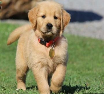 Golden retriever con pedigree Napoli id. 16092